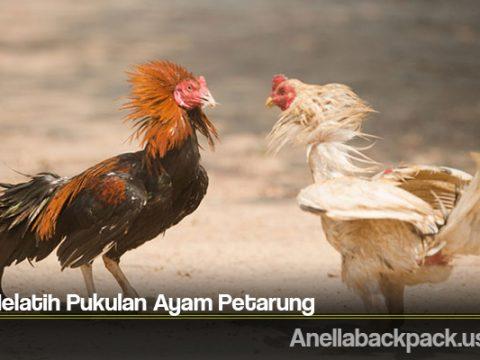 Cara Melatih Pukulan Ayam Petarung