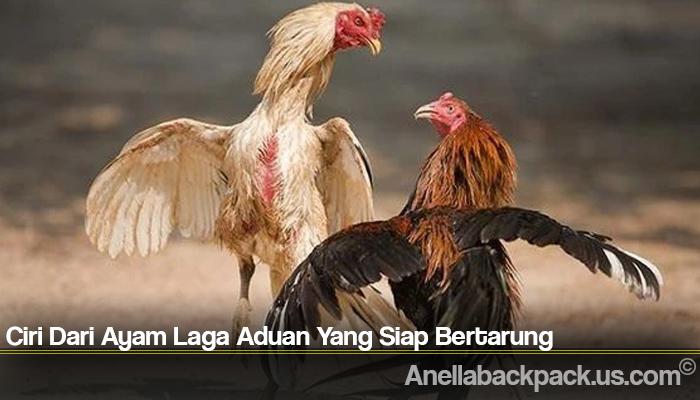 Ciri Dari Ayam Laga Aduan Yang Siap Bertarung