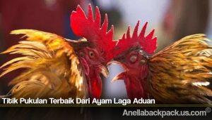 Titik Pukulan Terbaik Dari Ayam Laga Aduan